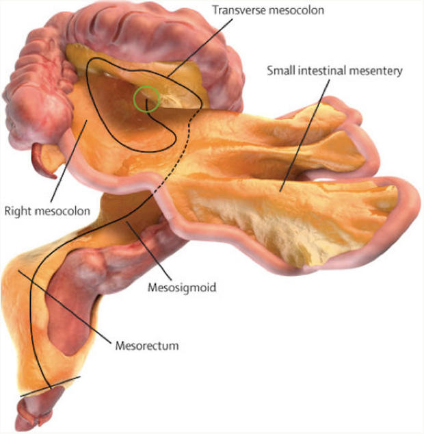 Say hello to your bodys newest organ the mesentery legacy organ ccuart